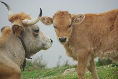 Peñamellera, vacas en las proximidades del pico El Paisanu