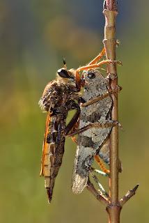 Para ampliar Fam. Asilidae (mosca asesina) hacer clic