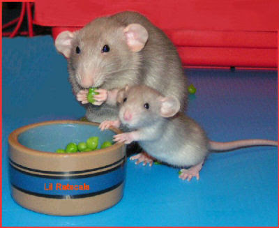 Cute baby dumbo rat - photo#9