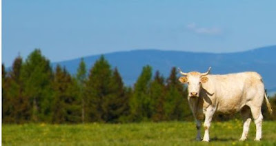 contoh sapi inseminasi buatan
