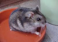 Hamster cinza ou preto