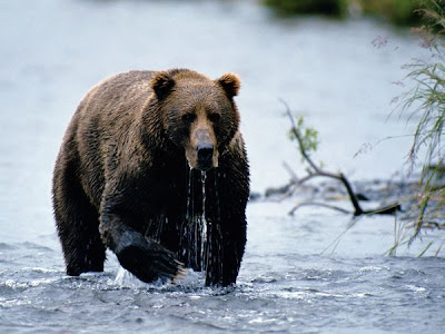 foto beruang cokelat kodiak