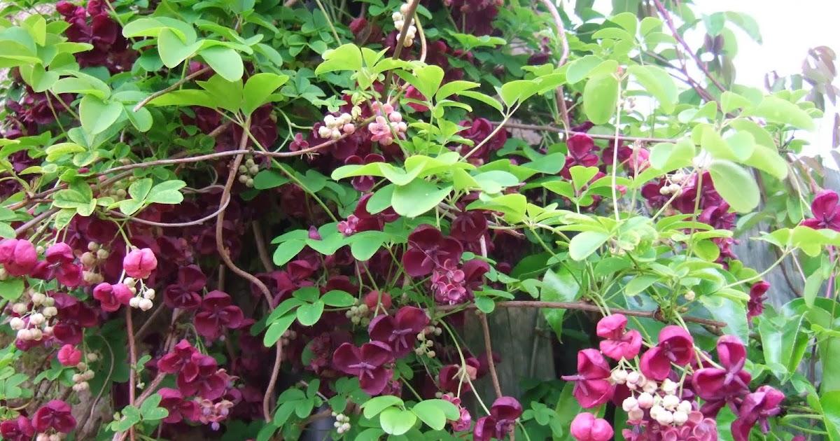 Arte y jardiner a dise o de jardines akebia quinata for Jardineria y plantas