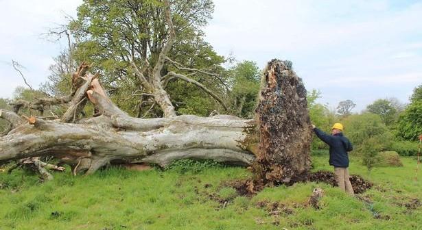 Картинки по запросу упавшее дерево с корнями