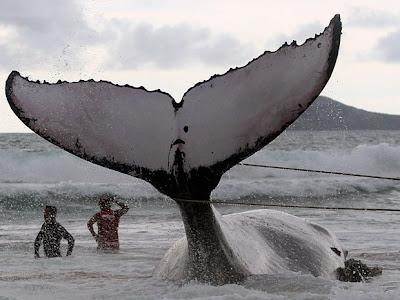 Bahia lidera ranking de baleias encalhadas