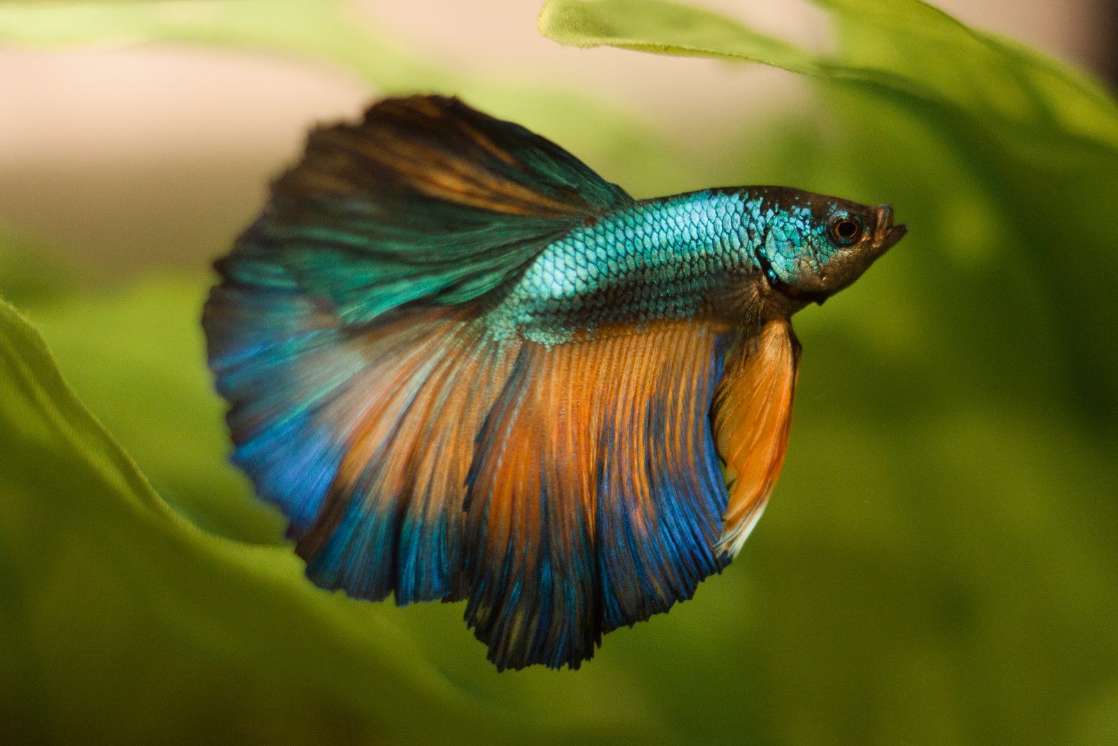 Amazing pets siamese fighting fish pictures betta splendens for Pictures of betta fish