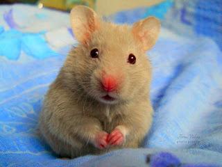 Tips Memelihara Hamster