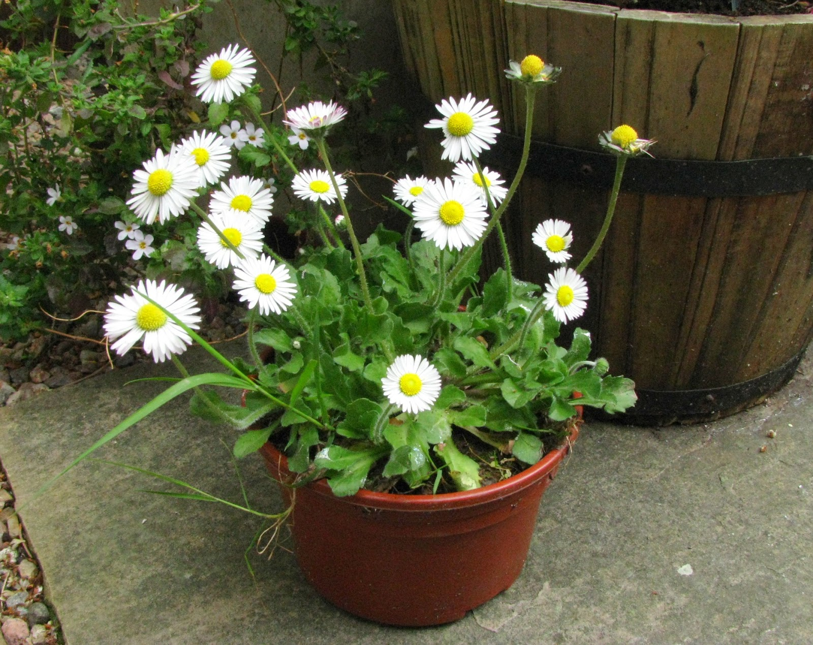 Botanical sketches and other stories in praise of the daisy Where did daisies originate