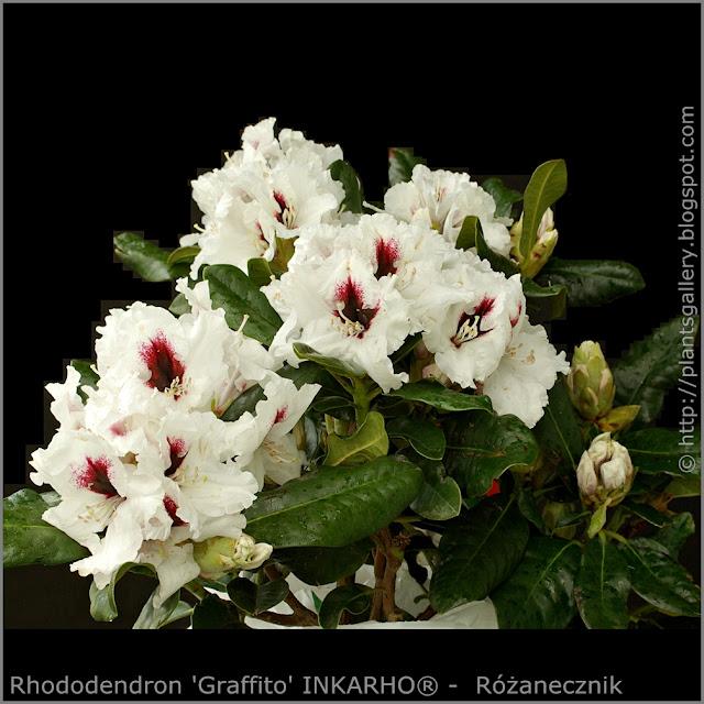 Rhododendron 'Graffito' INKARHO® -  Różanecznik  'Graffito' INKARHO®