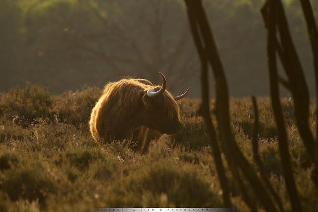 Schotse Hooglander - Scottish Highlander - Bos taurus ss