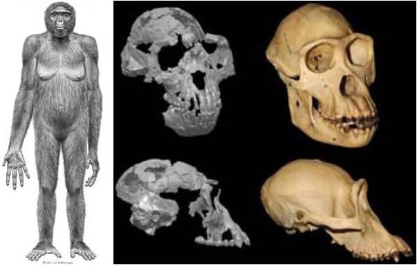 Resultado de imagen de El Ardipithecus ramidus y su equipo sensorial