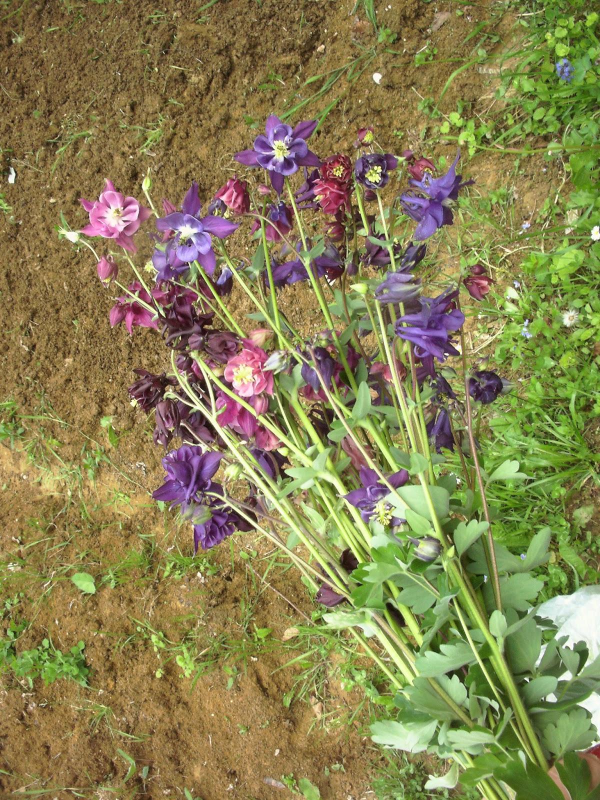 Rolling down my garden columbine columbine dhlflorist Images