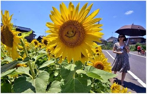 Menakjubkan Bunga Matahari di Jepun Kelihatan Tersenyum