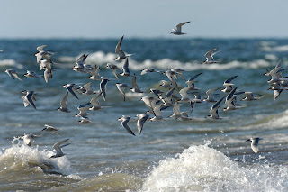 Image of Common Terns
