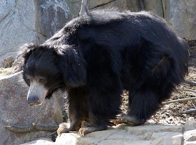 Informasi Tentang Beruang Sloth