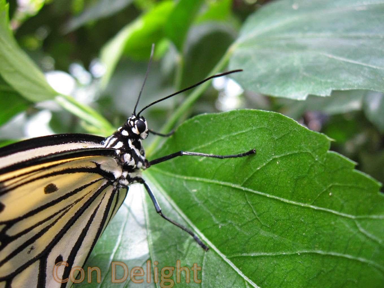 butterfly mainau island