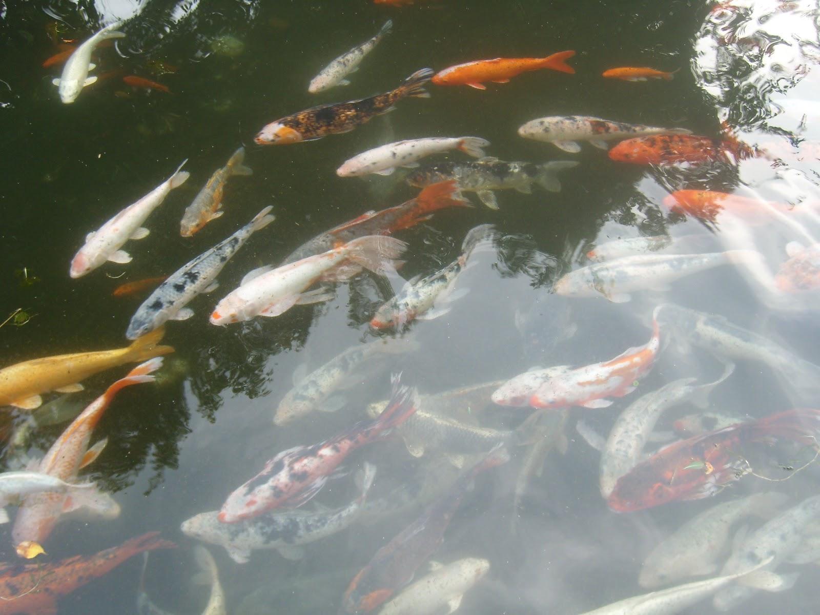 venta peces japoneses