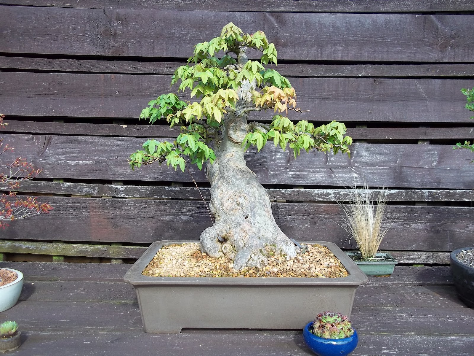 Ronin Bonsai Trident Maple