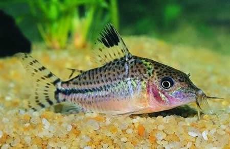 Corydoras acutus kedi balığı
