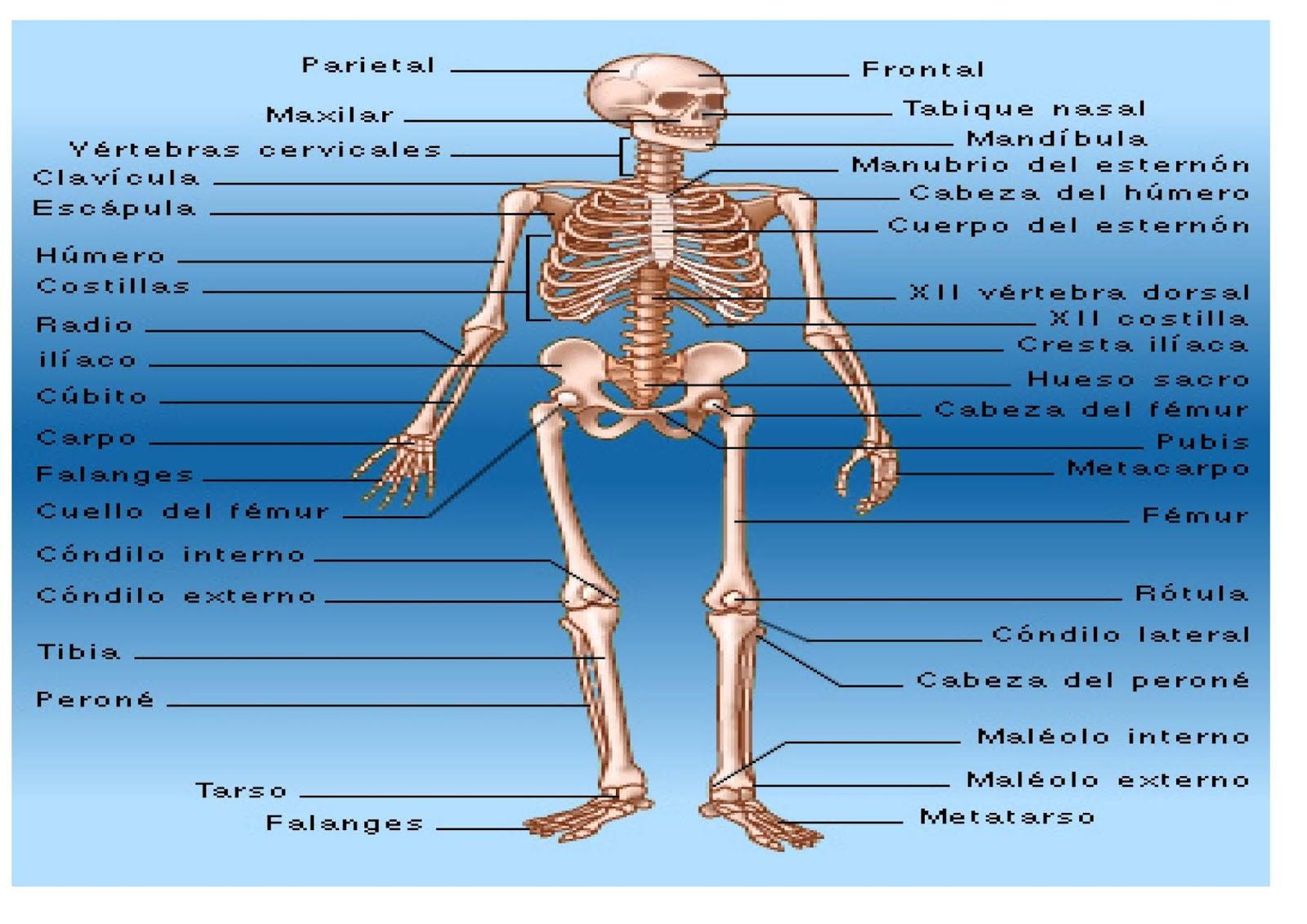 Increíble Prueba De Los Huesos Anatomía Molde - Imágenes de Anatomía ...