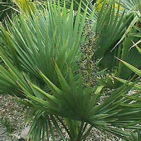 čebrovke pritlikava palma