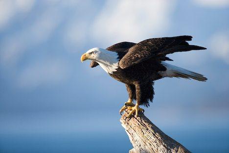 Bald Eagle Animal Unique In The World