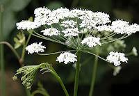 Лекарственное растение бедренец-камнеломка