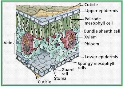 gambar bentuk jaringan epidermis