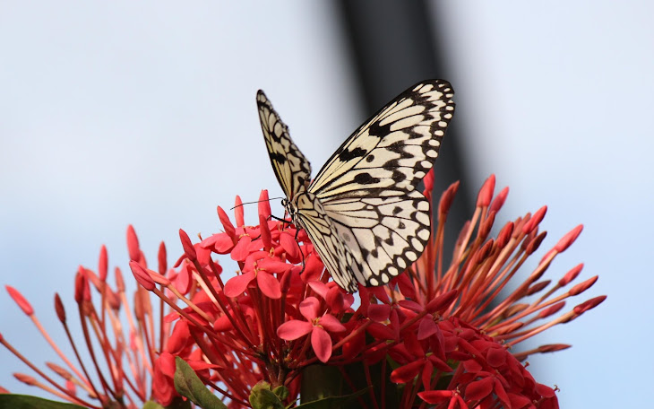Beautiful Butterfly on Hot Red Flowers