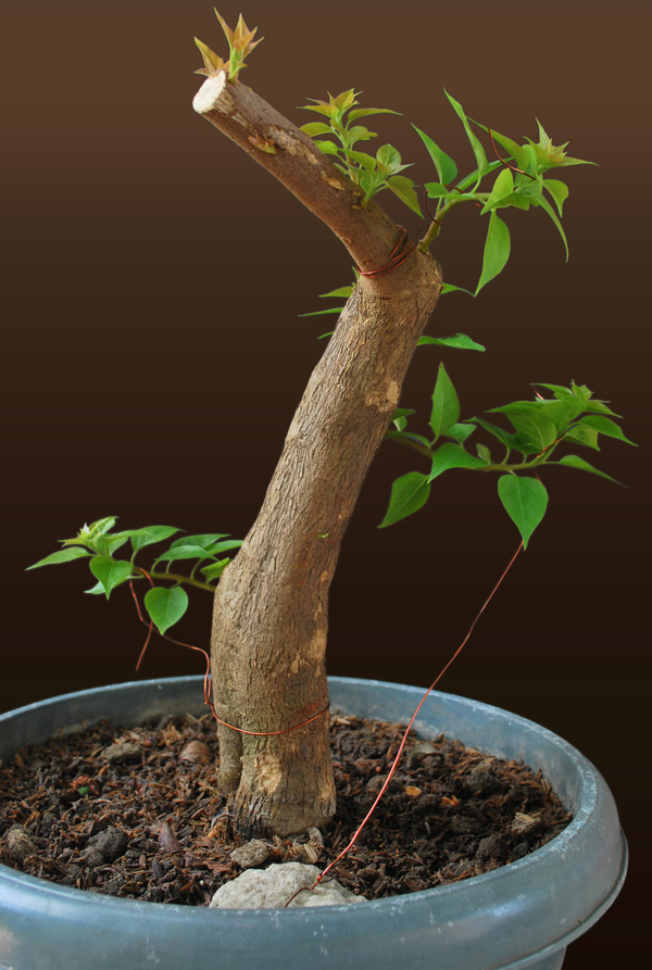Bougainvillea Bonsai - Informal Upright