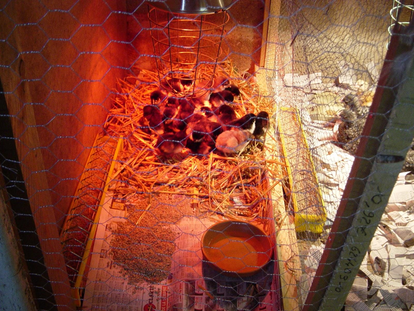 Poule Lige Poulet, dinde, pintade, oie, canard, poussin