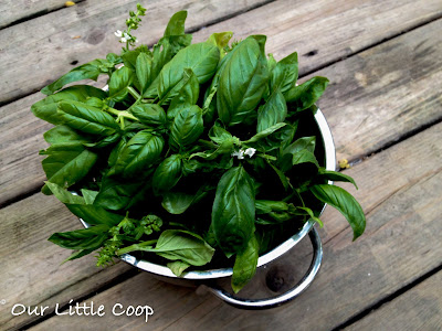 store basil from the garden over winter, urban, homestead, prepper, harvest