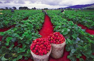 Wisata Petik Strawberry di Ciwidey