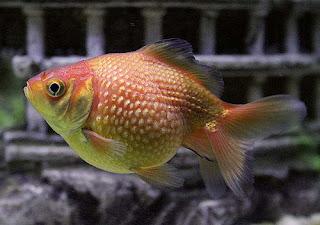La chachipedia peces for Criaderos de peces de agua fria