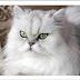 Μια γάτα Περσίας στο Διάστημα!