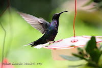 Ala de sable violceo, Violet sabrewing, Campylopterus hemileucurus