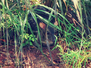 Indian Mouse Deer or Chevrotain Hiding in Grass