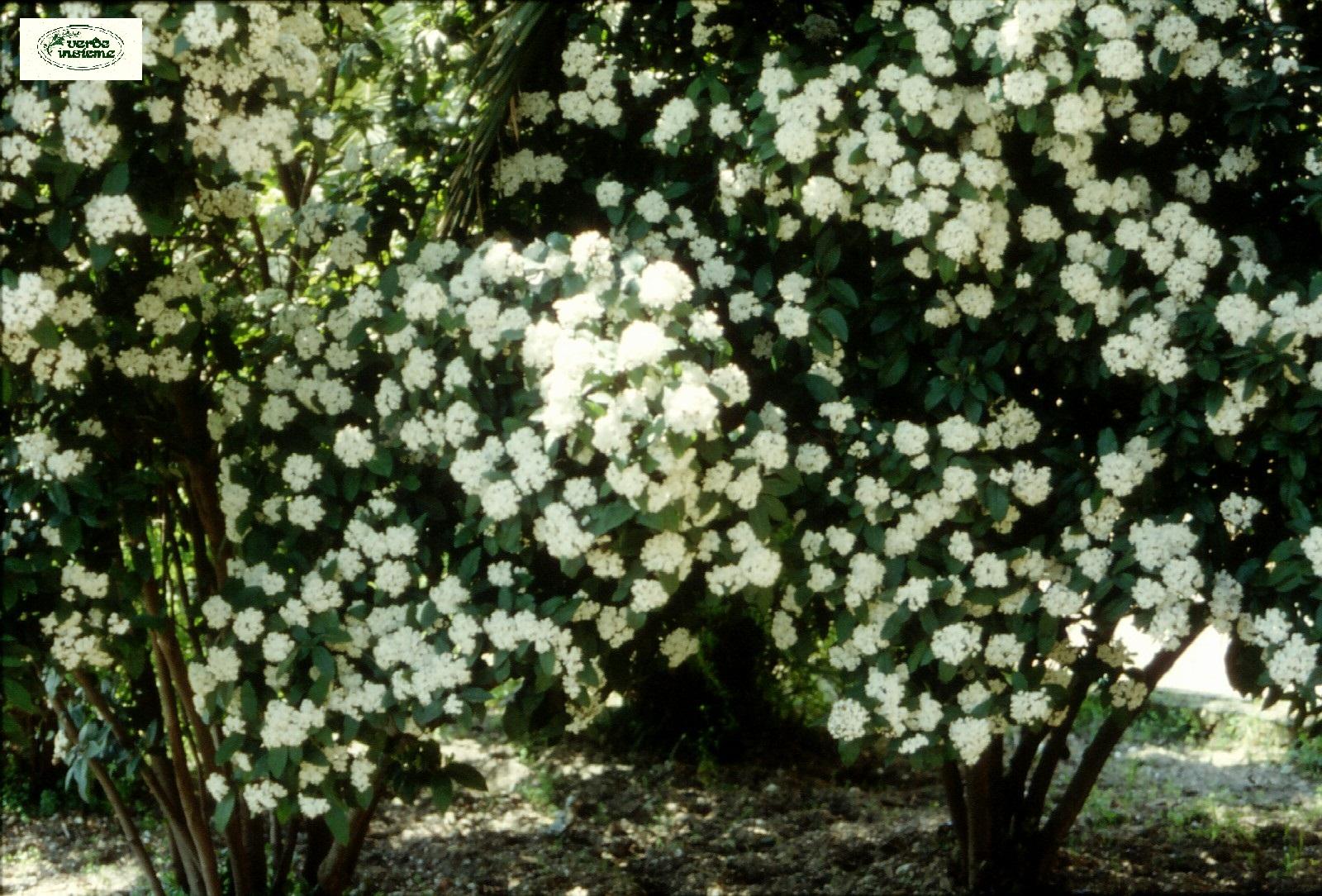 Delightful Viburno, Lentaggine, Laurotino Sono I Nomi Con Cui è Conosciuta Comunemente  La Specie, Un Arbusto Sempreverde Della Famiglia Delle Caprifoliaceae (o,  ...