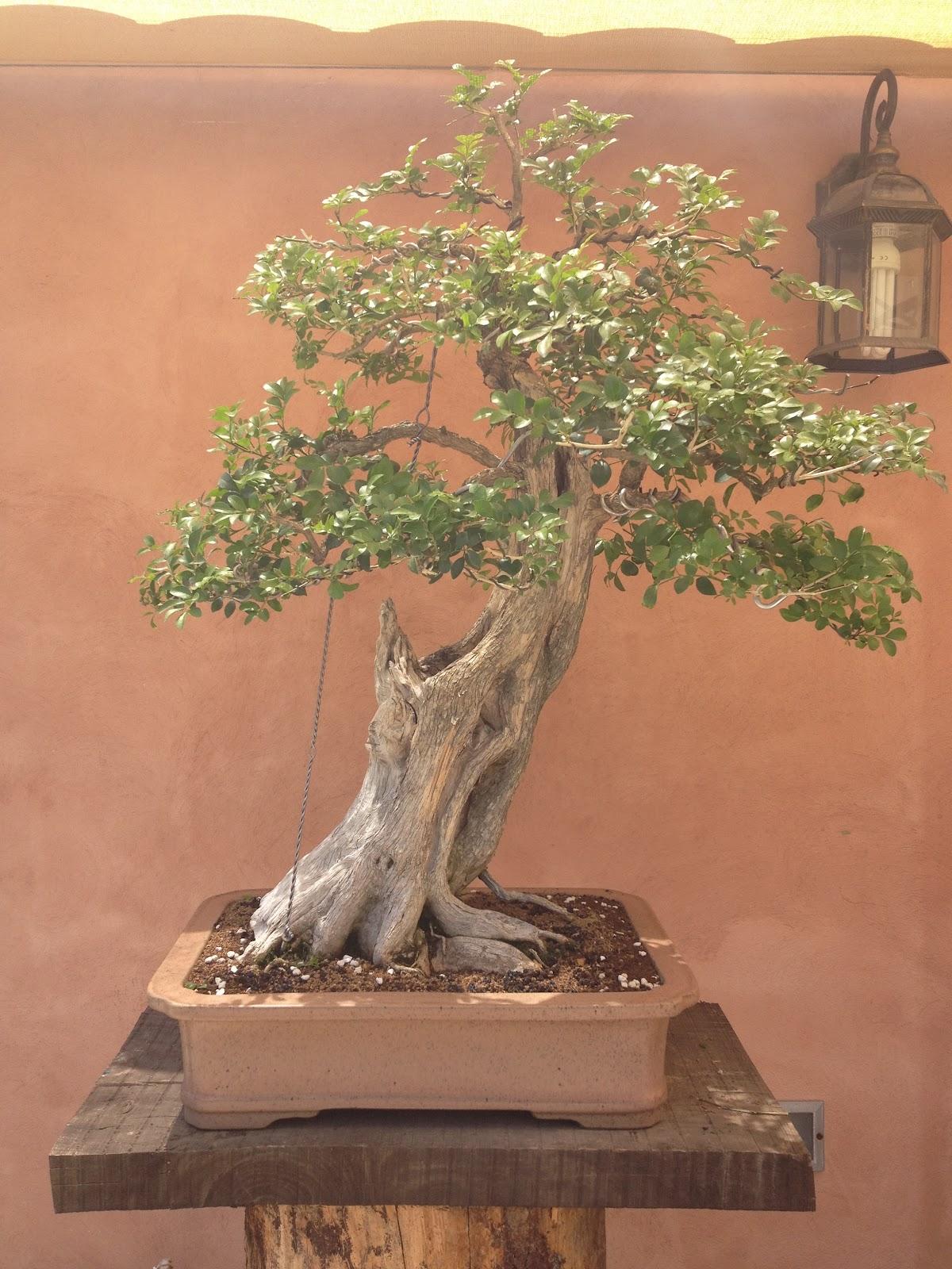 FKB Escuela Bonsai Mallorca MURRAYA PANICULATA Rutaceae
