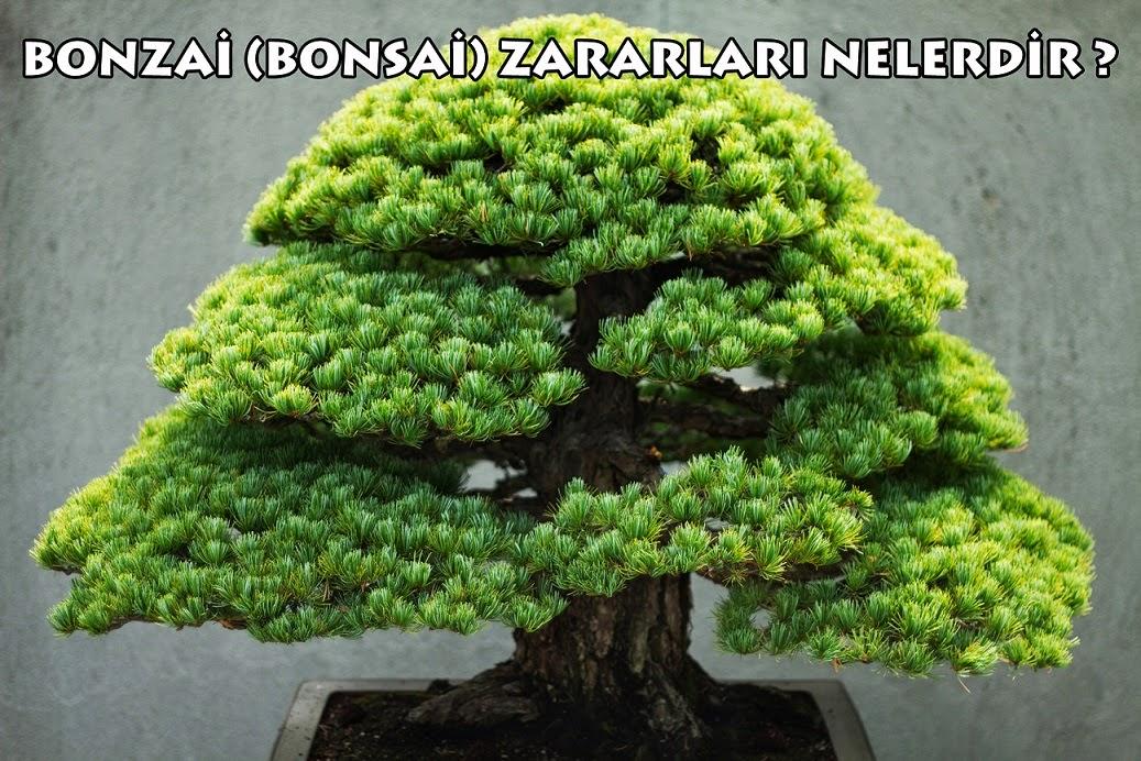 bonsai zararları
