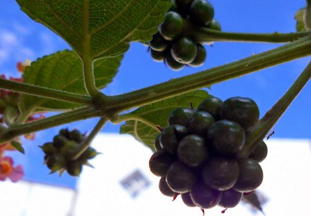 Frutos de Lantana
