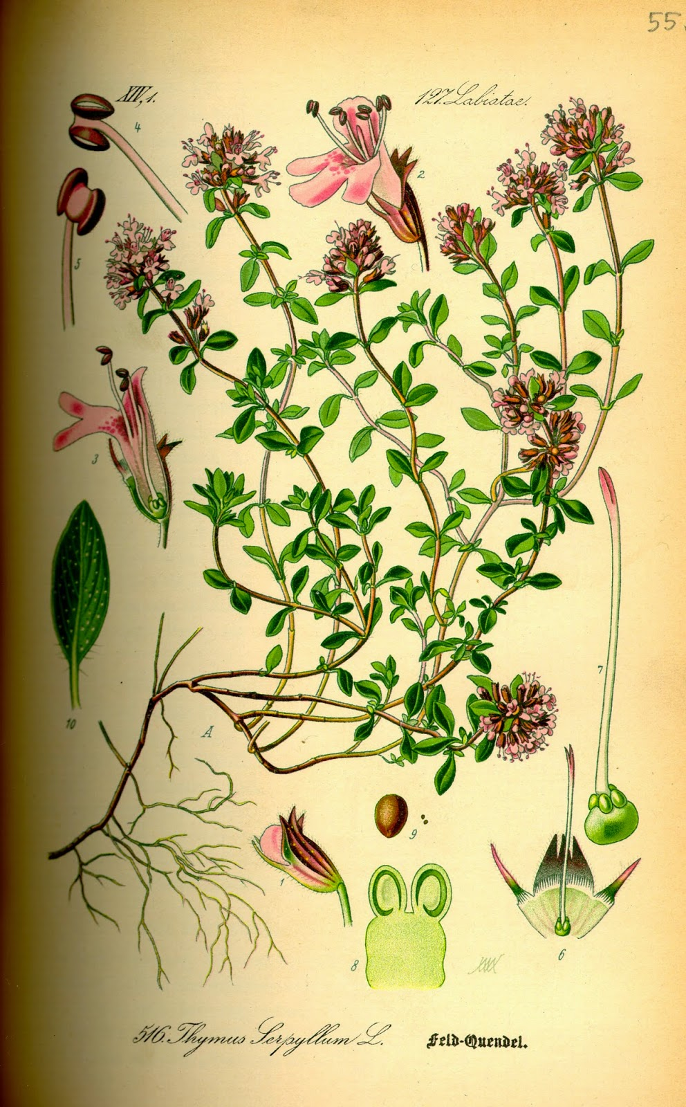 MACIERZANKA PIASKOWA Thymus sepyllum