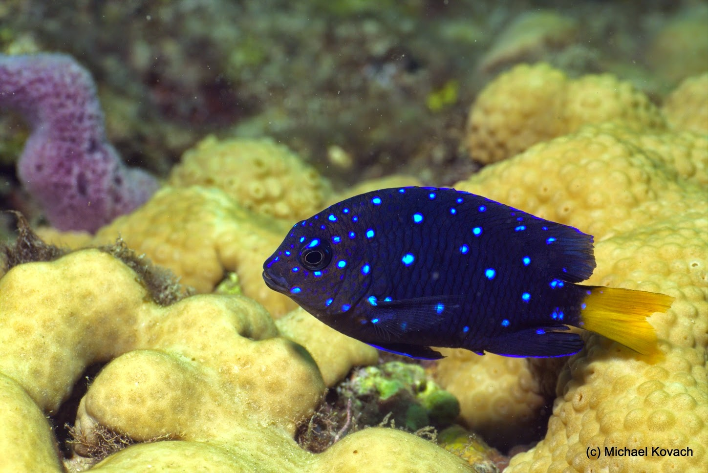 I photographed this Juvenile Yellowtail Damselfish on the ...