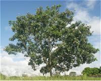 Honduran Mahogany tree.