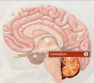http://www.healthline.com/human-body-maps/cerebellum