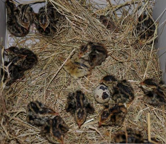 quail farm Shop for the best tasting quail and quail egg products on the market find quail halves, breasts, semi boneless, bone in, legs, wings, and whole quail products.