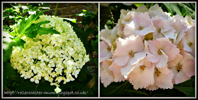 white lace Hydrangea flowers