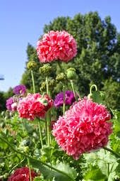 Peony poppies pink