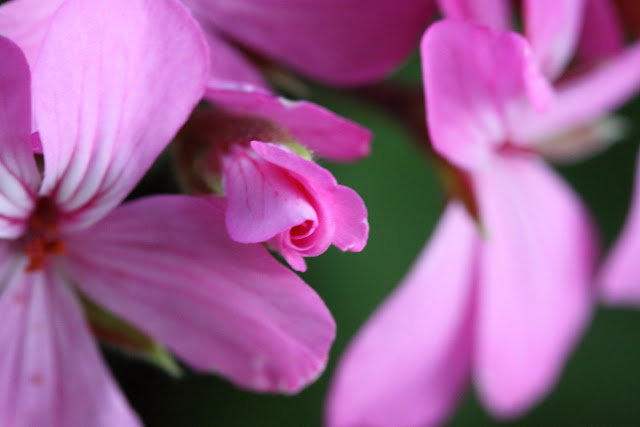 Pink Geranium bud
