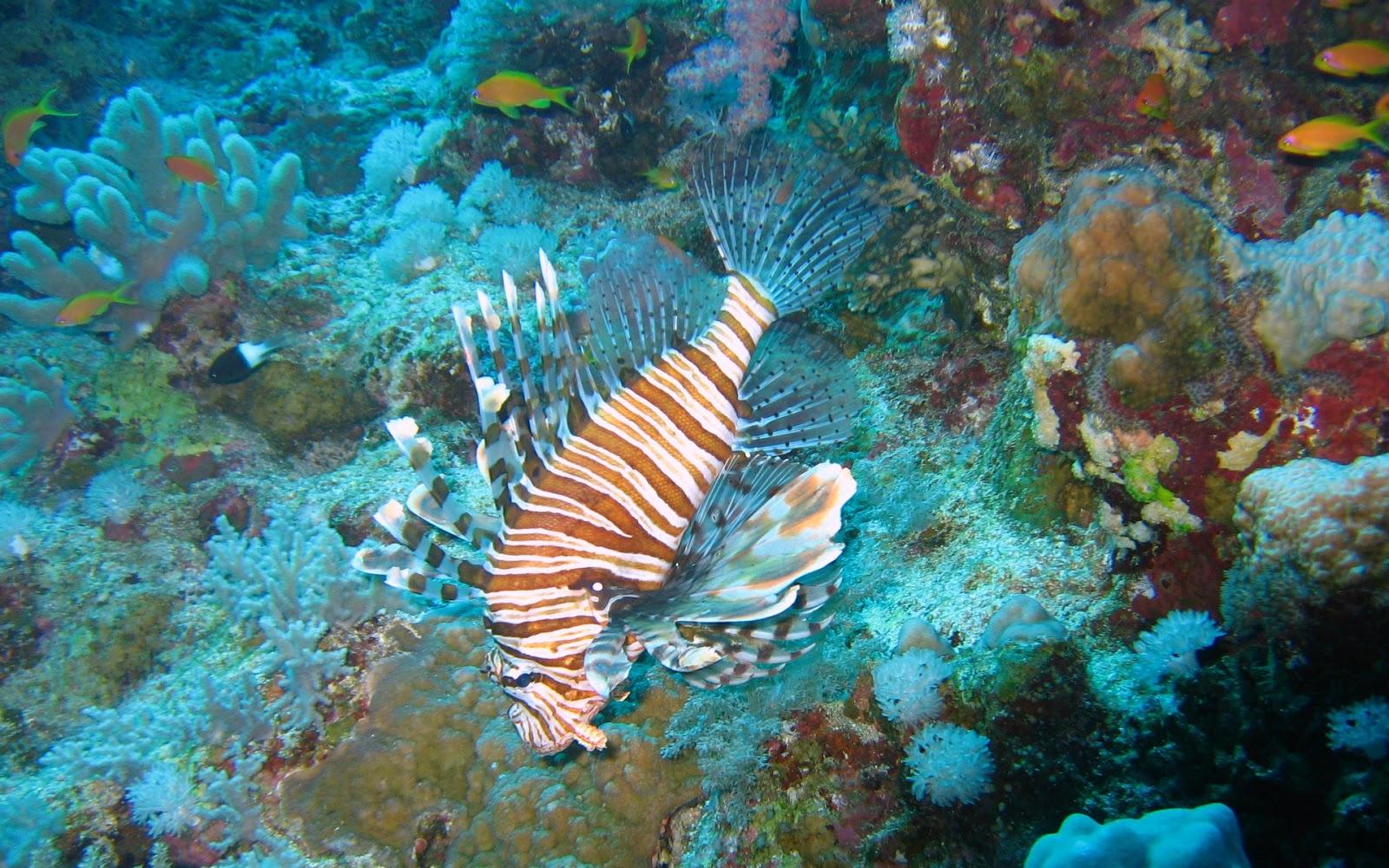 http://4.bp.blogspot.com/-b2LmXnqx8CU/UKucifOitRI/AAAAAAAAIB8/thkIwMpksN8/s1600/lion-fish-underwater-ocean-wallpaper-1920x1200-elphstone+reef+017.jpg